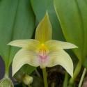 Bulbophyllum smitinandii