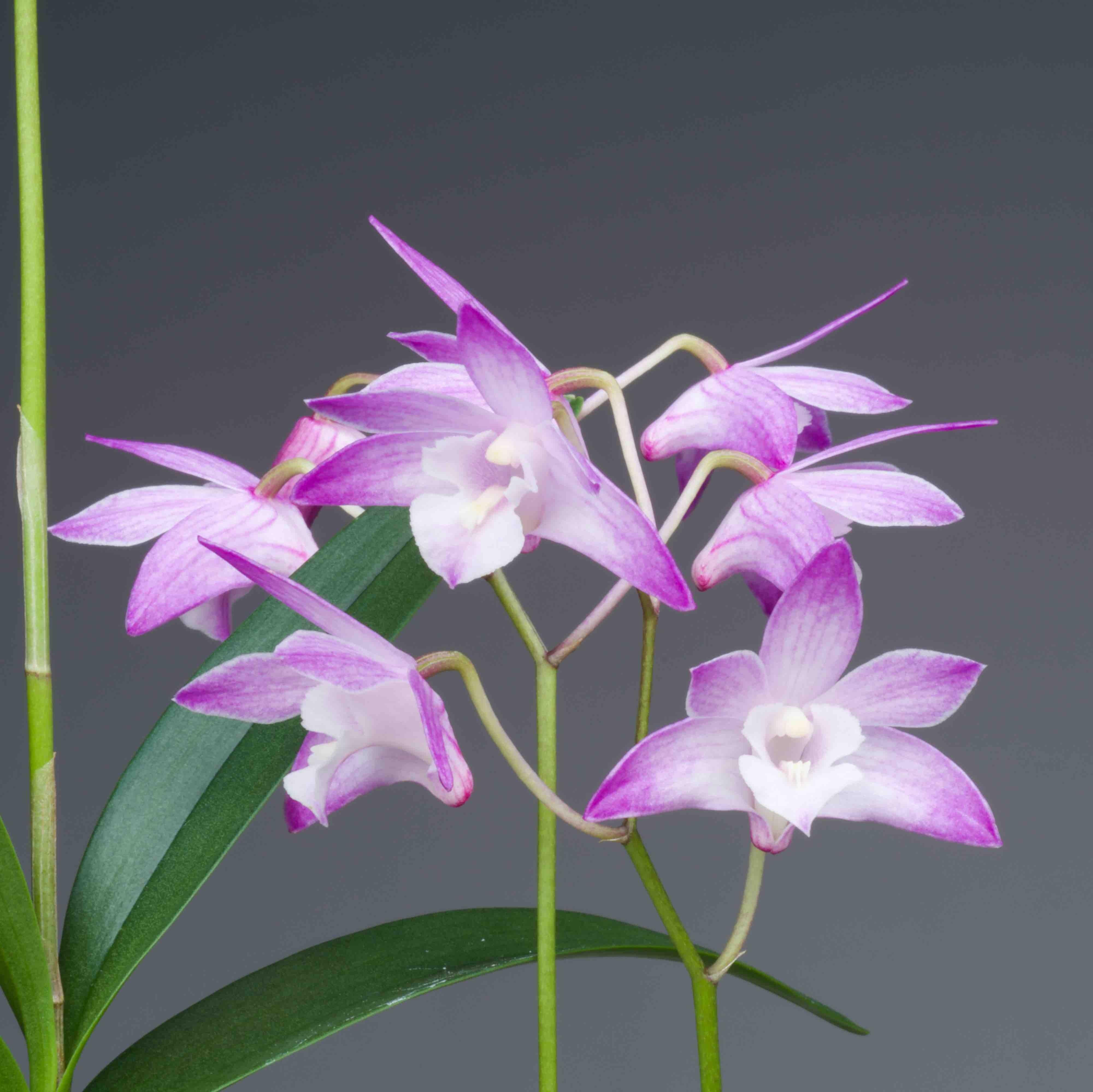 Dendrobium kingianum, orchidée facile et parfumée, vente