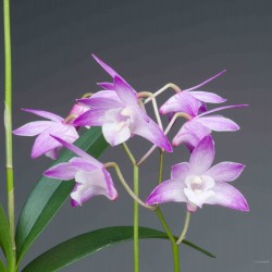 Dendrobium kingianum sur plaque