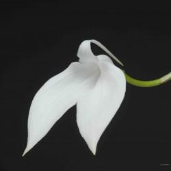 Masdevallia coccinea var. alba