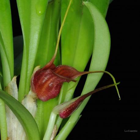 Masdevallia corniculata