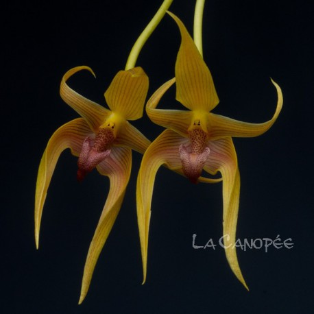 Bulbophyllum Frank Smith