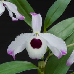 Dendrobium nobile sur plaque