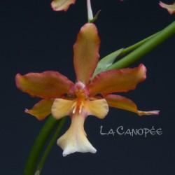Oncidium Penelope