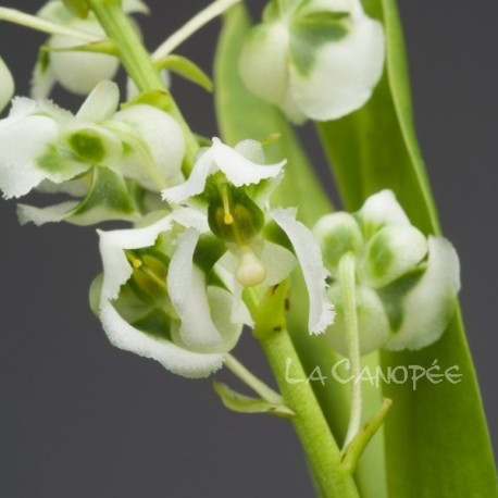 Zygostates grandiflora