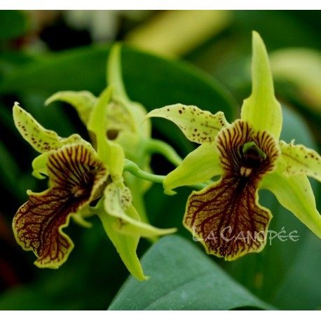 Dendrobium Green Elf