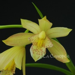 Cymbidium Golden Summer