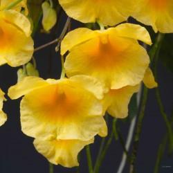 Dendrobium lindleyi sur plaque