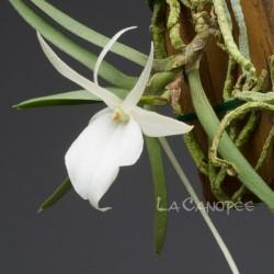 Angraecum rutenbergianum x conchoglossum