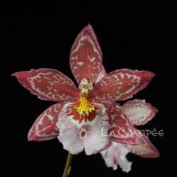 Oncidopsis Yokara 'Perfection' x Oncidium leucochilum