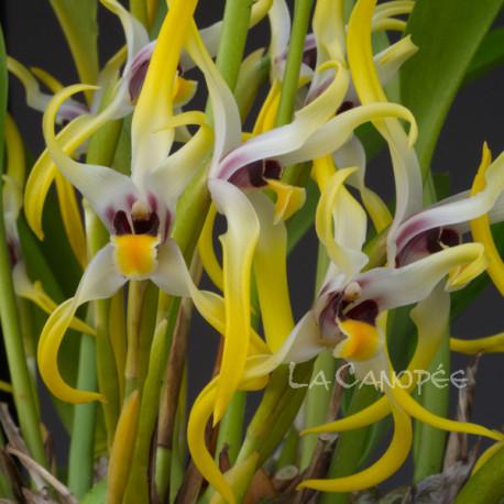 Maxillaria dillonii