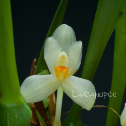 Maxillaria hedwigiae
