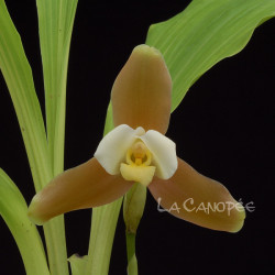 Lycaste xytriophora