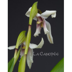 Maxillaria dichroma