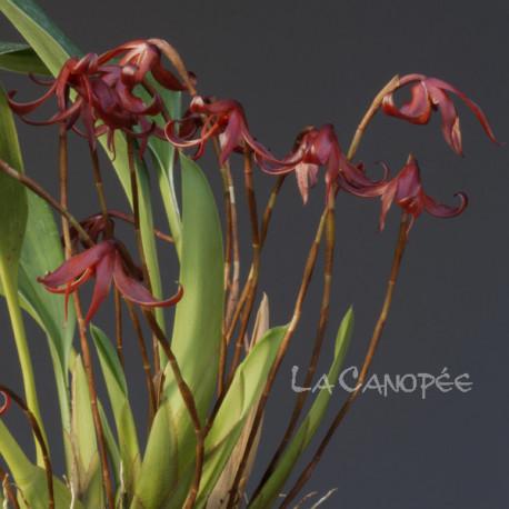 Maxillaria longipes