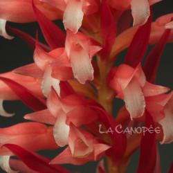 Sacoila lanceolata