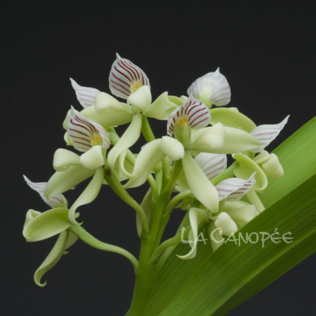 Prosthechea chacaoensis