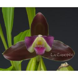 Lycaste macrophylla var. litensis