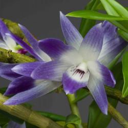Dendrobium victoria-reginae sur plaque