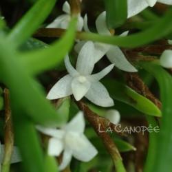 Ceratostylis philippinensis