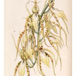 Brassia lawrenceana