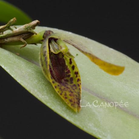 Acianthera saundersiana sur plaque