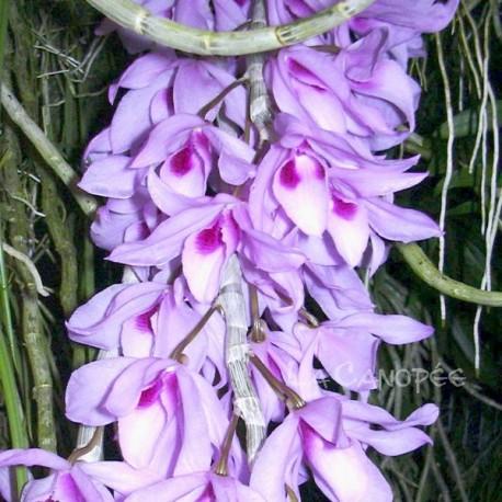 Dendrobium Nestor