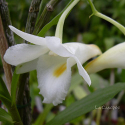 Dendrobium arcuatum
