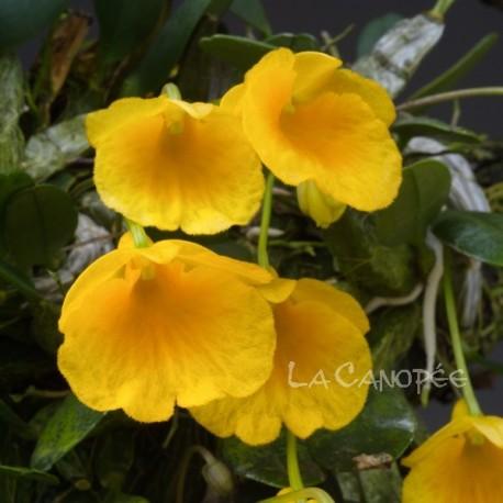 Dendrobium jenkinsii sur plaque
