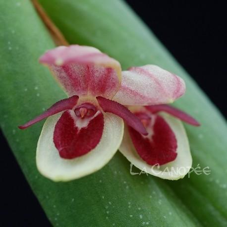 Pleurothallis hemileuca