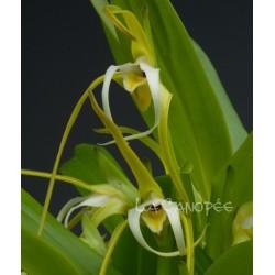 Maxillaria arachnitiflora