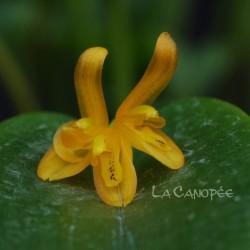 Acianthera luteola