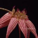 Bulbophyllum Elisabeth Ann 'Buckleburry'