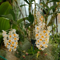 Dendrobium Marie Dalmeny