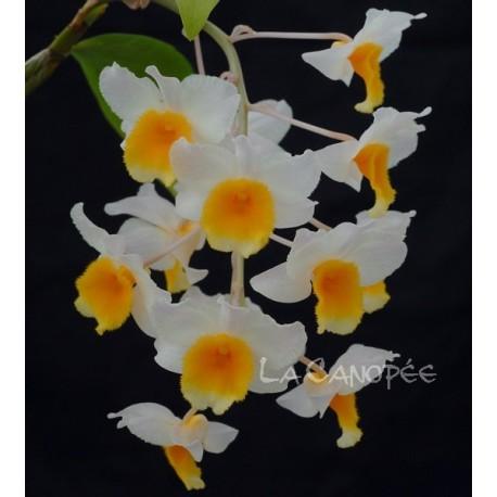 Dendrobium Farmeri-Thyrsiflorum