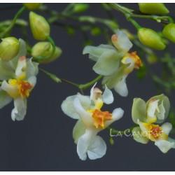 Oncidium Twinkle 'Jaune'