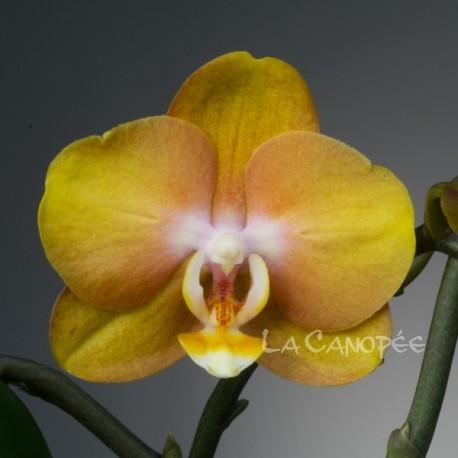 Phalaenopsis Las Vegas