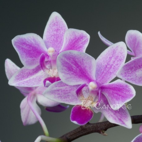 Phalaenopsis Wild Pink