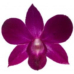 Dendrobium Thailand black
