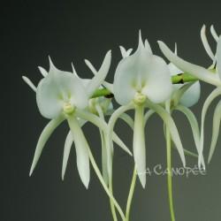 Angraecum eburneum subsp. superbum