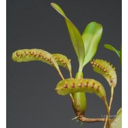 Bulbophyllum falcatum 'Vert'