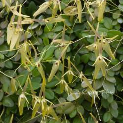 Barbosella cogniauxiana