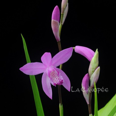 Bletilla striata orchidée terrestre, vente