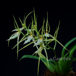 Brassia lanceana