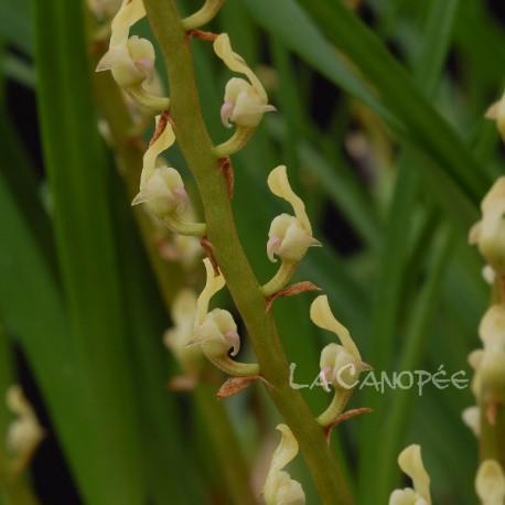 Bulbophyllum erectum