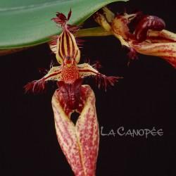 Bulbophyllum putidum