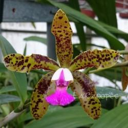Cattleya Landate