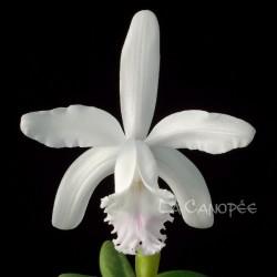 Cattleya intermedia var. semi-alba