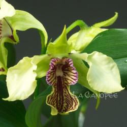 Dendrobium La Maripontaine