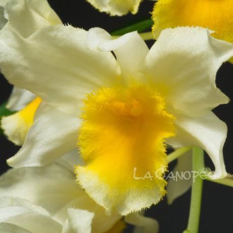 Dendrobium Thy-Griffin